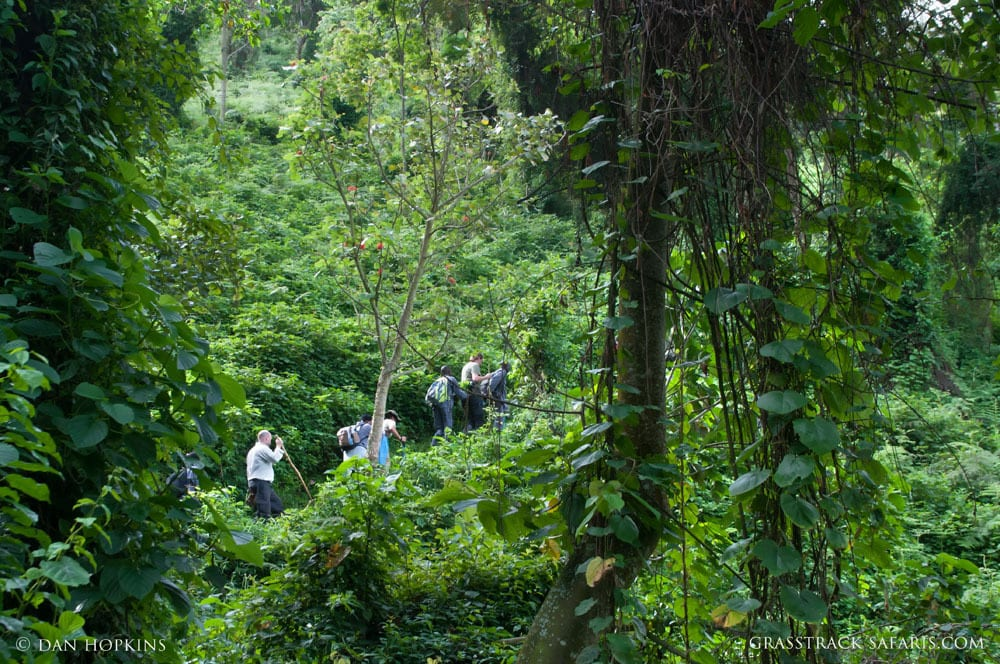 Mountain Gorilla Trekking, Bwindi Forest, Uganda