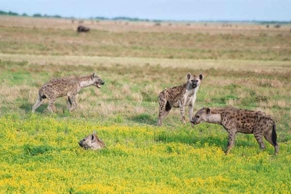 Hyenas, Liuwa