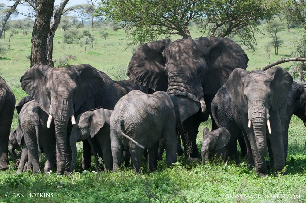 elephants serengeti
