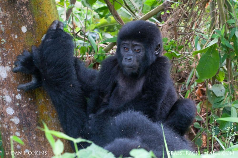 Gorilla Infant