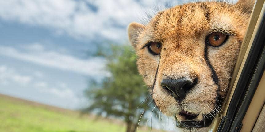 ndutu_cheetah3
