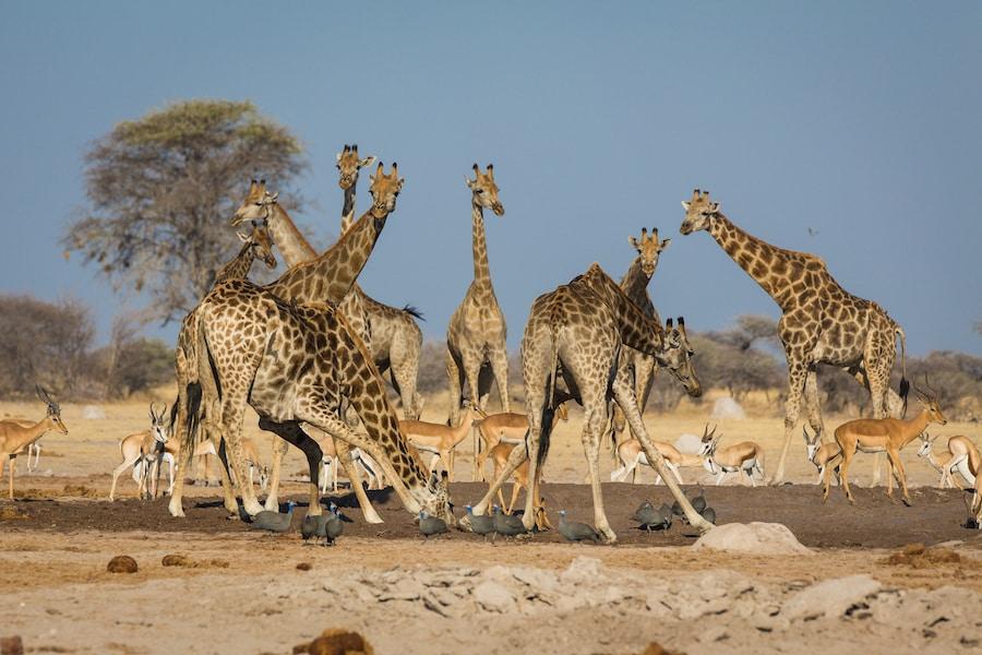 Giraffes, Nxai Pan National Park
