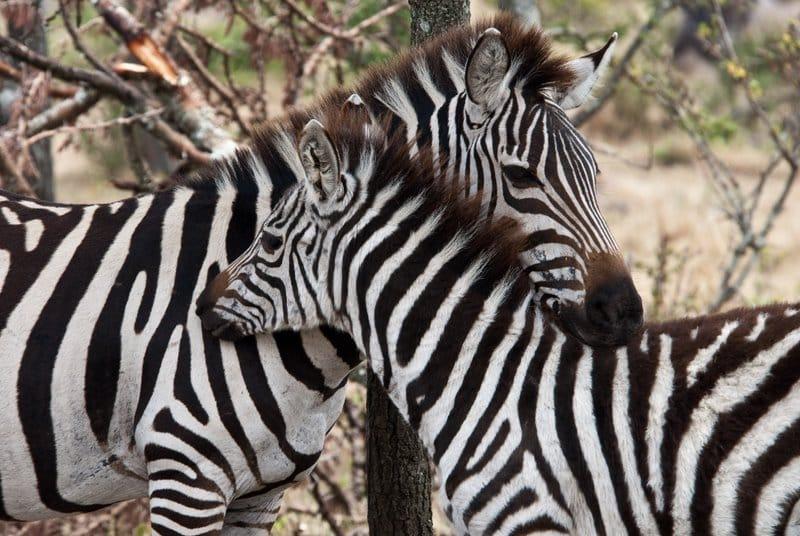 Zebras, Masai Mara